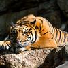 Resting Tiger (Panthera tigris)
