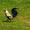 Farmyard Chicken (Gallus gallus domesticus)