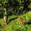 Farmyard Chicken (Gallus gallus domesticus) and Turkey (Meleagris gallopavo)
