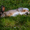Resting Rabbit (Oryctolagus cuniculus)