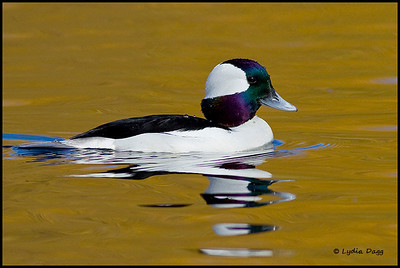 Bufflehead, British Columbia, Canada