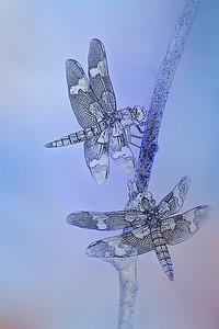 Dragonflies Communicating, 6
