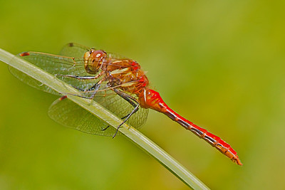 Striped Mohawk Dragonfly, 4