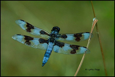 8-spotted Dragonfly Delight!, 1
