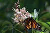 As we were leaving, Bill got a couple of nice shots of a monarch butterfly on a buckeye blossom.