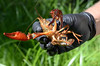 Our first crayfish species:  Pacifastacus leniusculus (native to the west coast with introductions from the Columbia River)