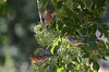 Two male, one female house finch on blue elderberry.