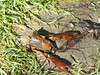 An otter-killed crayfish (and eaten -- at least the good parts).