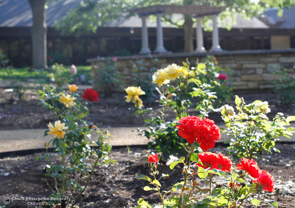 Roses Bud And Blossom At The Creekside Rose Garden And Event Center April  28,