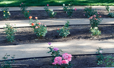 Roses Bud And Blossom At The Creekside Rose Garden And Event Center April  28, 2016