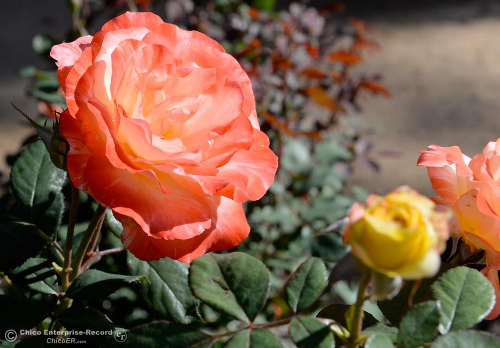 PHOTOS: Creekside Rose Garden