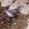 Brown Creeper  Mammoth Lakes 2014 10 16 (201413 of 4).CR2