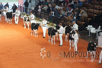 Cremona Holstein Heifers 2015