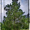 Eastern Red Cedar-Framed