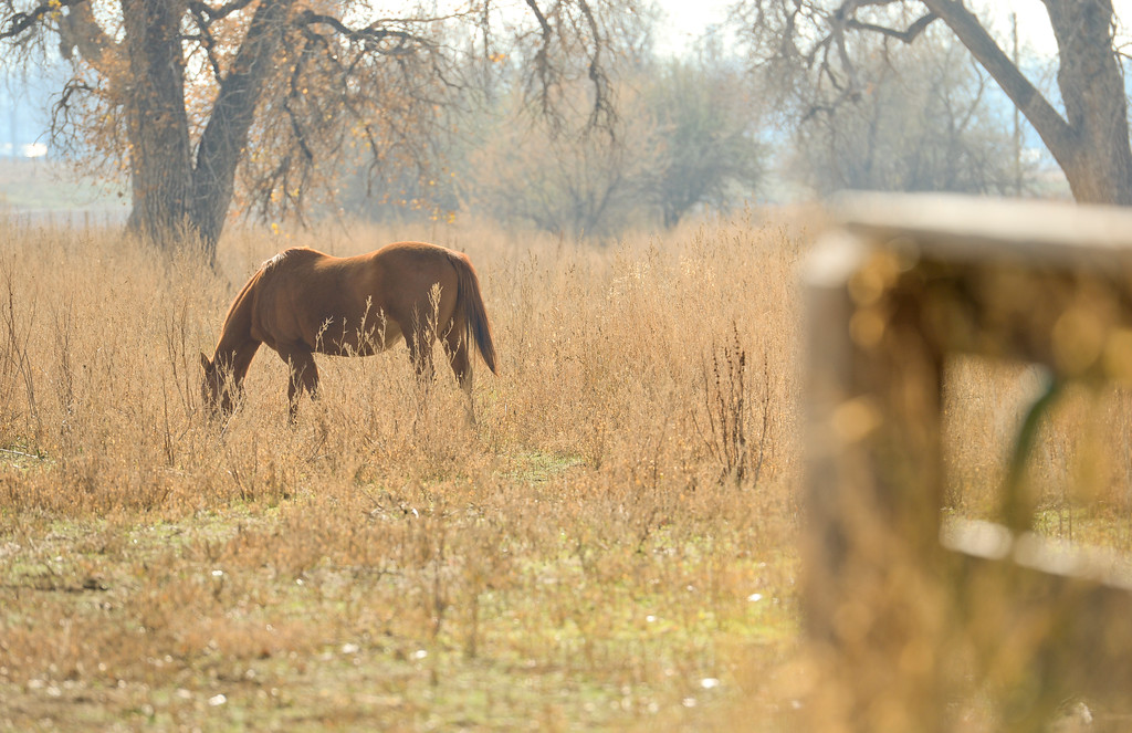 . A horse grazes in a pasture on Chris Davidson\'s property in Colorado on Nov. 10, 2017. Crestone Peak Resources is planning to drill up to 36 wells on a pad on Boulder County Open space that backs to Davidson\'s property.  (Photo by Matthew Jonas/Times-Call)