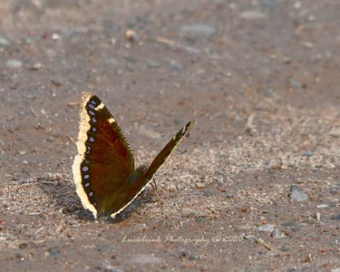 Surprise Butterfly on Monday March 30, 2020 at Crex