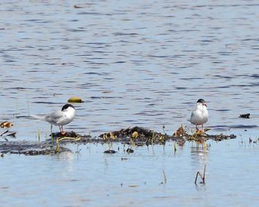 Common Tern Taking Break