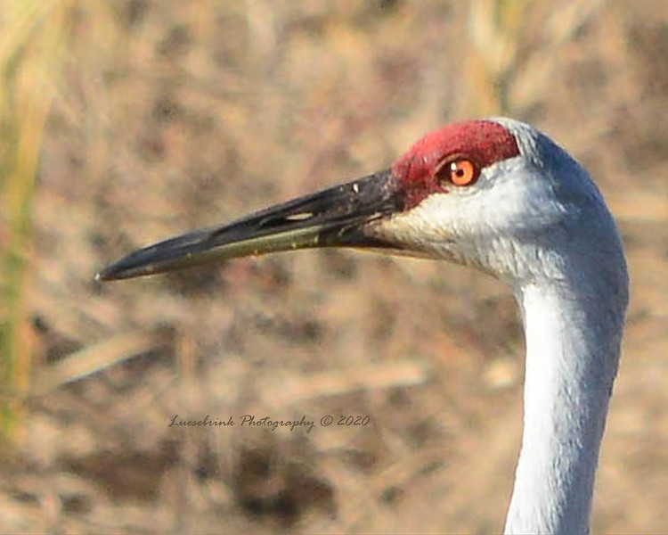 Sandhill Crane head fall 2020