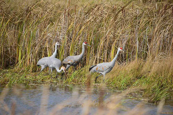 Sandhill Crane Family on Main DIke Road