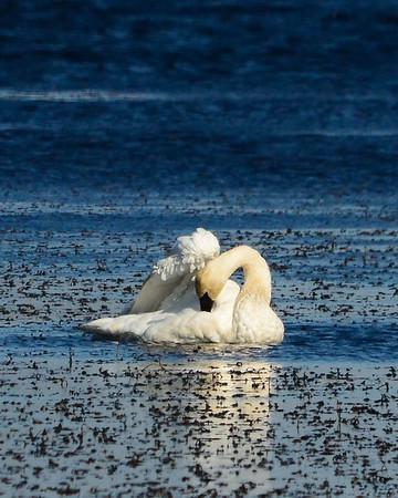 Trumpeter Swan Blue