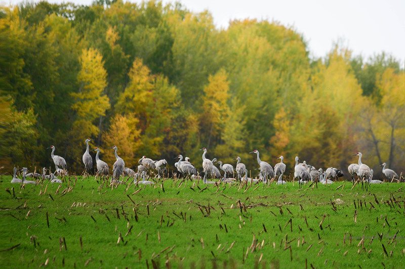 Sandhill Cranes on Williams Rd South
