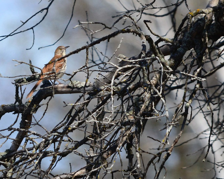 Brown Thrasher and Branches