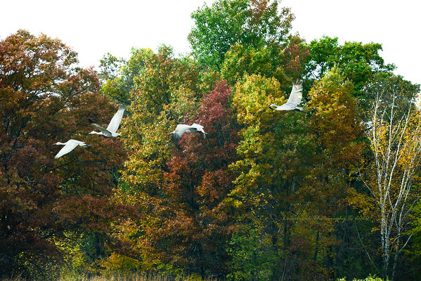 Fall Colors and Sandhill Cranes