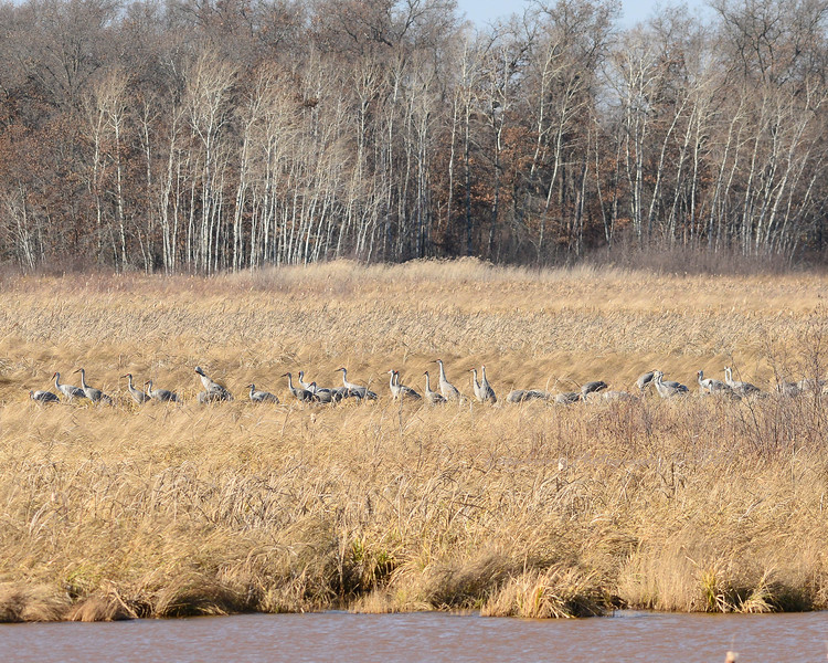Sandhill Cranes Staging out of Wind