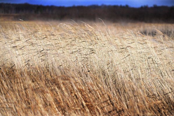 Amber Waves of Marsh Grass at Crex Meadows