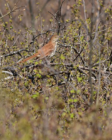 Brown Thrasher at Crex