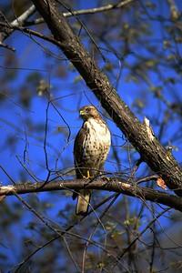 Broad Wing Hawk on Highway 8