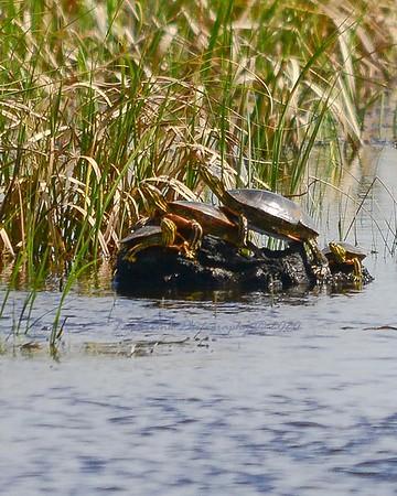 Sunning Turtle Family