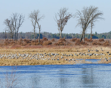 Cranes Staging on Dike 1 at Crex Meadows