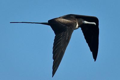 Frigatebird, Galapagos