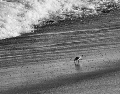 Sandpiper in Surf B&W