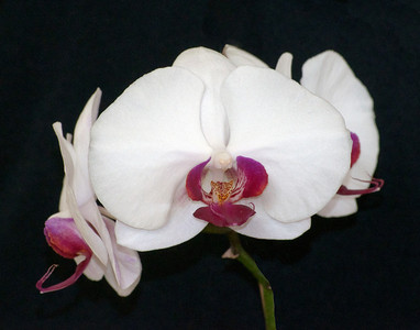 3 orchids in Bloom - Willa