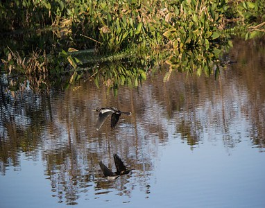 ANHINGA  WATER REFLECTION BEFORE