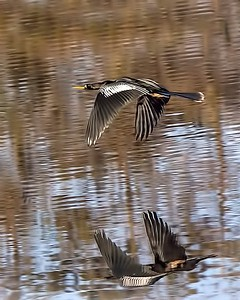 ANHINGA WATER REFLECTION AFTER