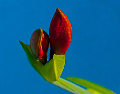 amaryllis bud (day 1)-Willa