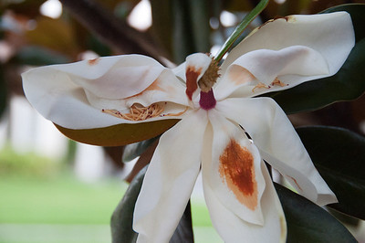 Magnolia decaying Gloria