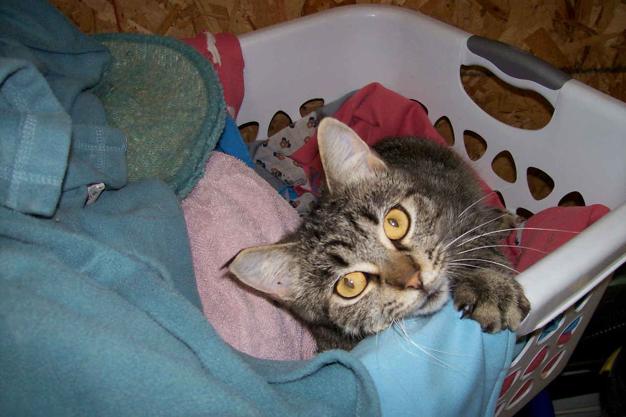 Another one of our cats, Mini Me, is trying to help us with the kennel laundry.