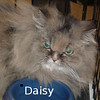 Critter Chronicles: Daisy : This is Daisy and she urgently needs a new home. Unfortunately, the 2-year-old child in the family she was living with has been found to be very allergic to cats. She is looking for a retirement home to live out her remaining  years. Please consider an older girl who has a lot of love to give. She is front declawed.