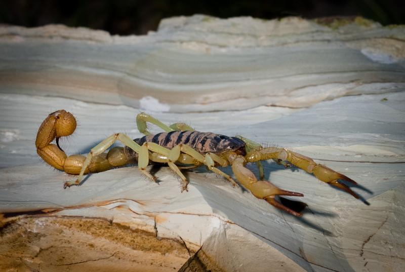 Scorpion, eastern Oregon