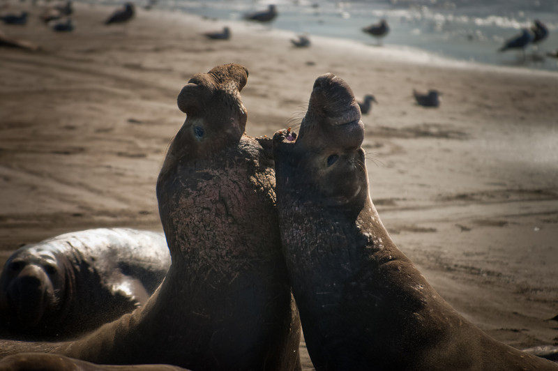 Quarrelling elephant seals, California coast.