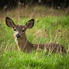 Mule deer in morning dew grass