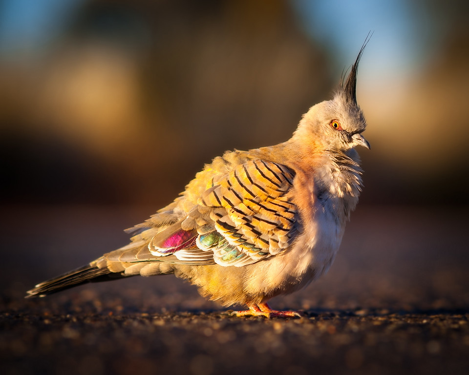 Australian Crested pigeon in the outback