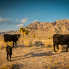 Cows in the desert