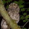 Screech Owl, western Oregon
