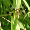 Thai Dragonfly