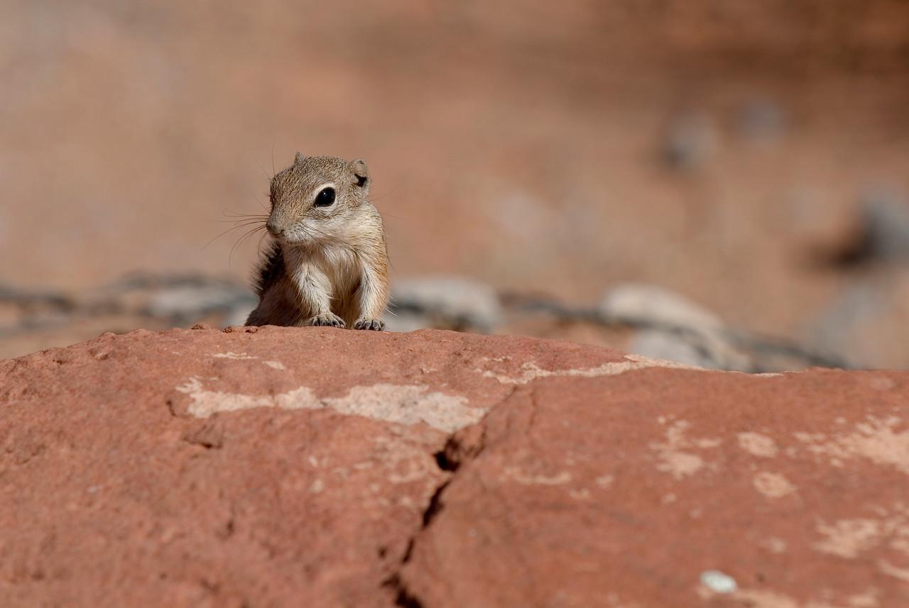 Harris' Antelope Squirrel